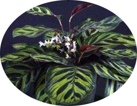 hoa cay duoi cong Calathea makoyana