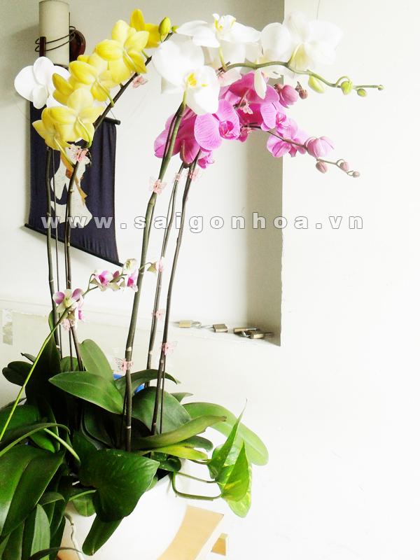 Hoa lan ho diep 5 canh