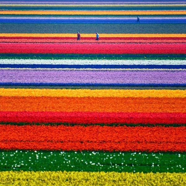 canh dong hoa Tulip dep