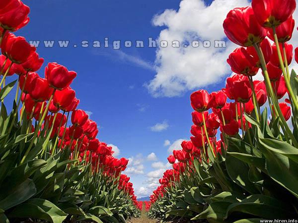 canh dong hoa tulip mau do ruc