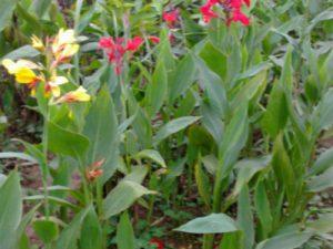 cay chuoi hoa trong vien