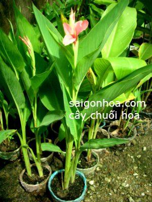Cây Chuối Hoa