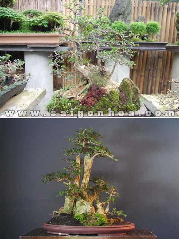 cay duoi bonsai trang tri