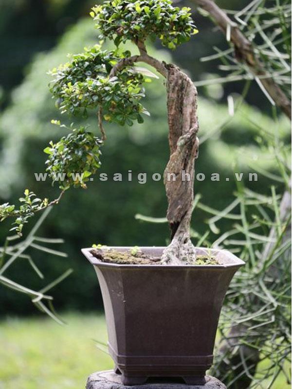 cay duoi bonsai