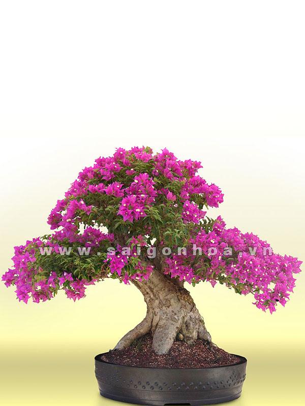 cay hoa giay bonsai