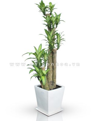 Cây Phát Tài/ cây thiết mộc lan