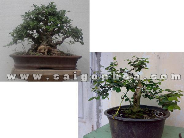 chau cay duoi bonsai