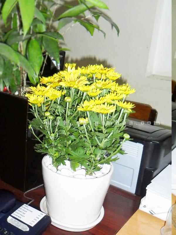 chau hoa cuc da lat de ban