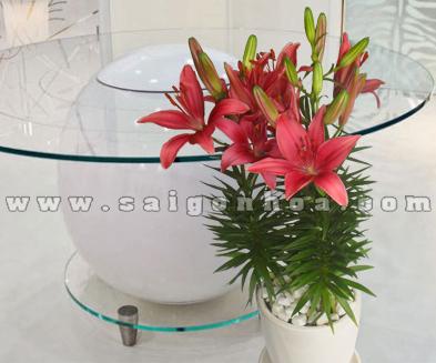 chau hoa lily do2