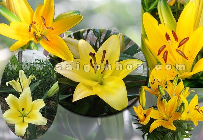 chau hoa lily vang 5