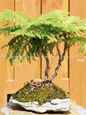 chau tung bach tan bonsai