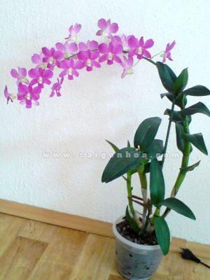 gio hoa lan dendro mau hong