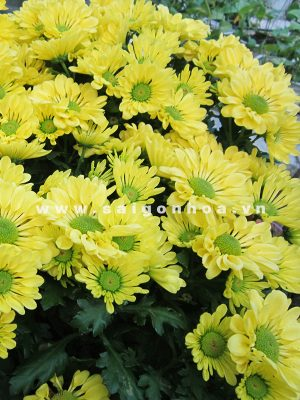hoa cuc tet 2014 3