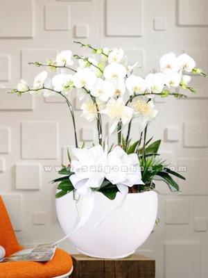 hoa diep trang chau 8 canh