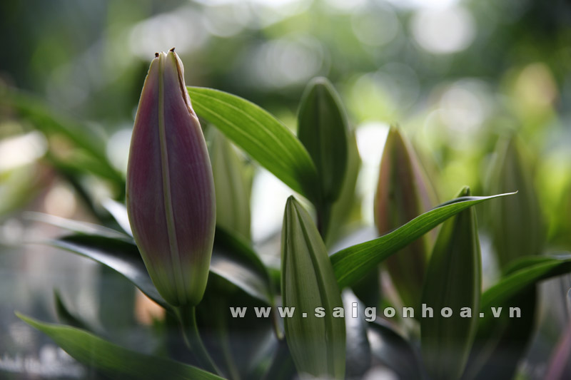 hoa lily thom