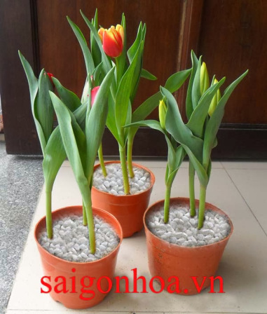 hoa tulip 1