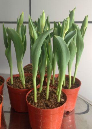 hoa-tulip-chau