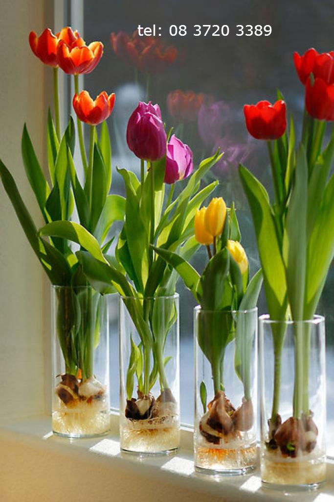 hoa-tulip-cu