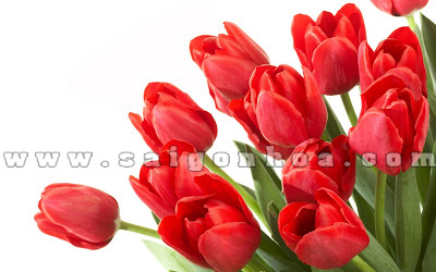 hoa tulip mau do dep