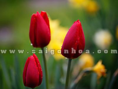 hoa tulip mau do