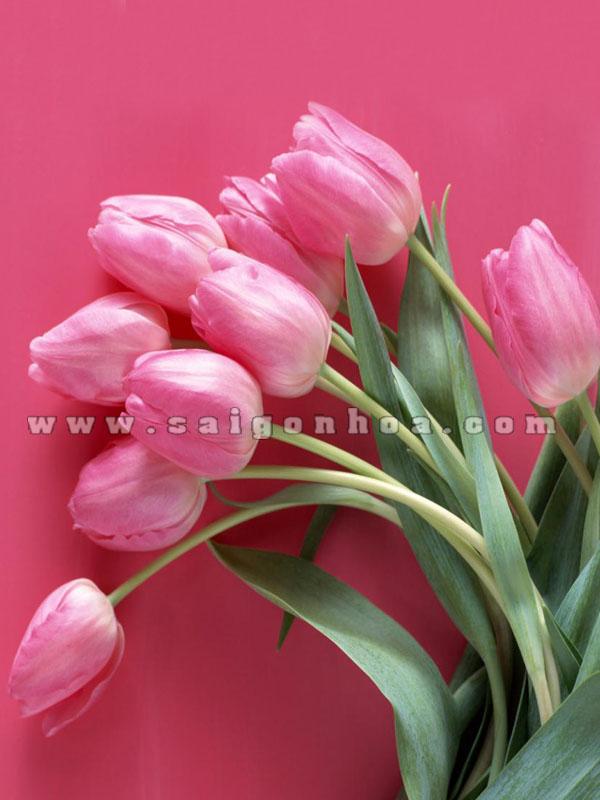 hoa tulip mau hong 11