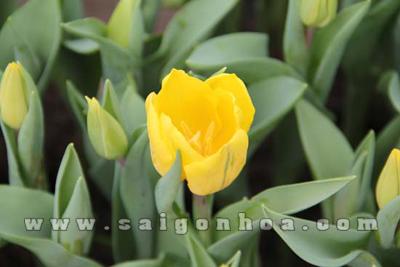hoa tulip mau vang 11