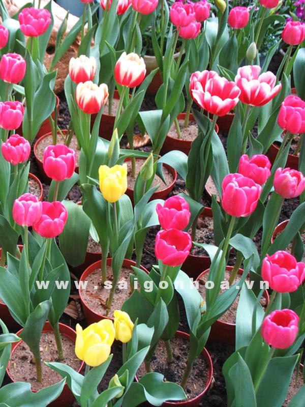 hoa tulip tet 214