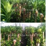vườn phát tài khúc Sài Gòn Hoa