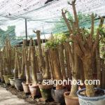 vườn gốc phát tài Sài Gòn Hoa
