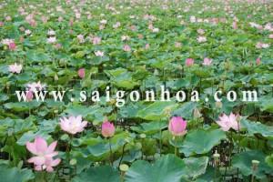 cay hoa sen (2)