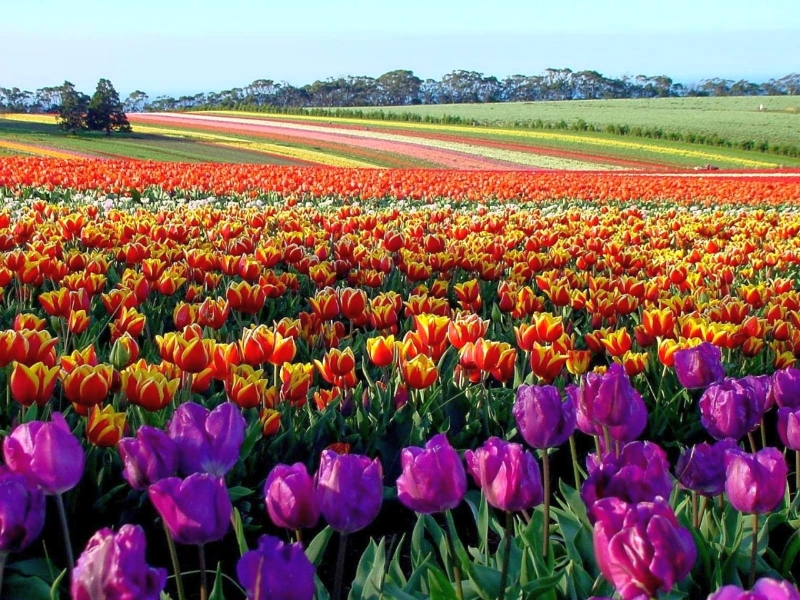 table-cape-tulip-farm-2