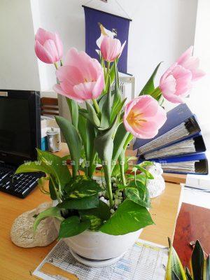 tieu canh tulip