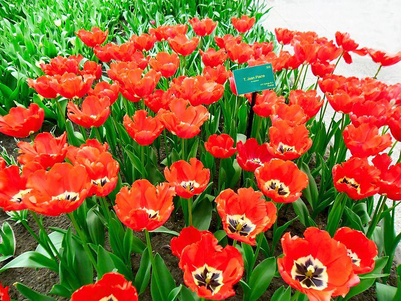 tulip-halan