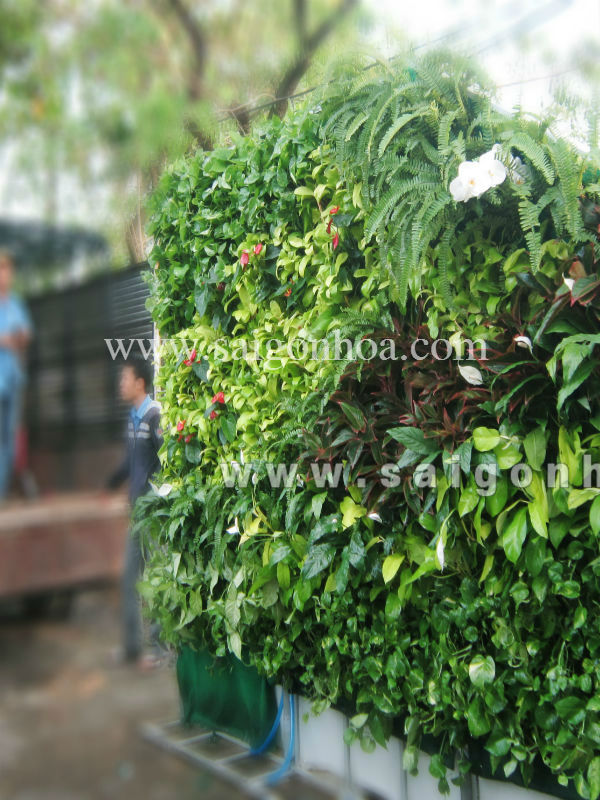 Chuẩn bị giao tường cây cho khách hàng
