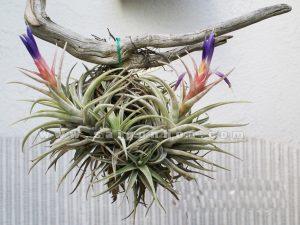 hoa cay khong khi treo