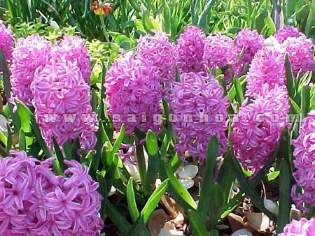 hoa da lan huong tim