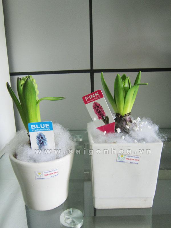 hoa da lan huong 2