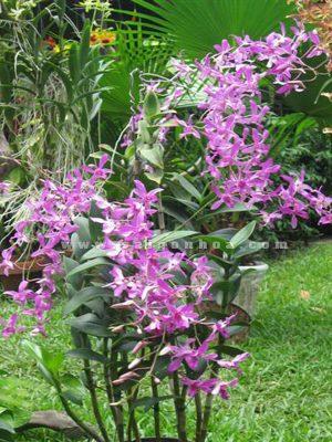 hoa lan dendro nang hong