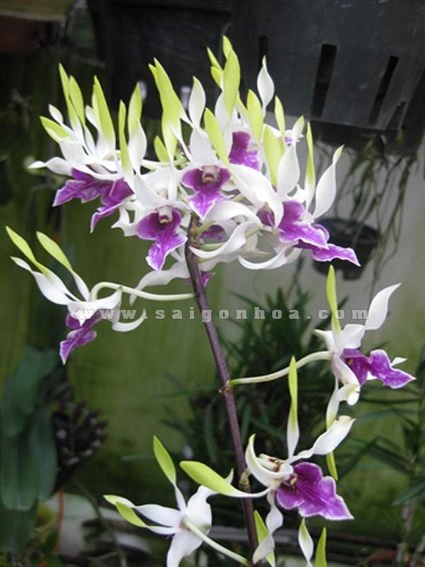 hoa lan dendro nang