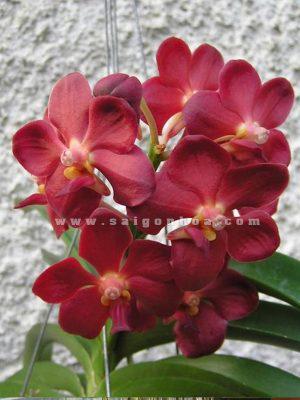 lan vanda hoa do