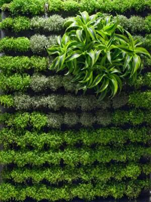 Tường cây di động cây lược vàng