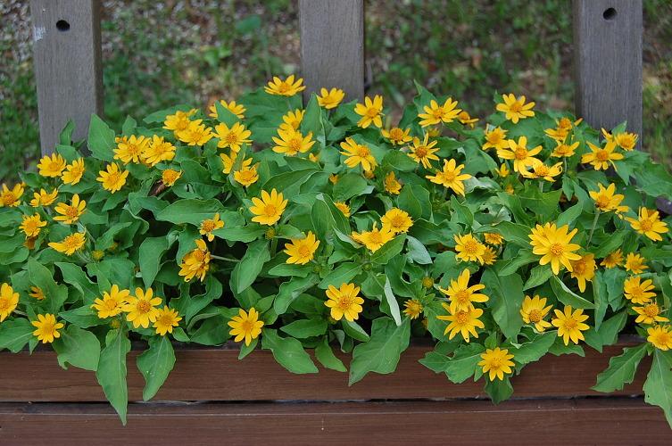 bon hoa cuc mat troi