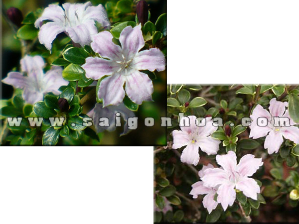 cay bach tuyet mai Variegated Pink