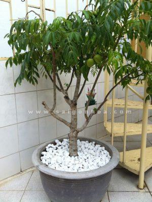 Trồng Cây Cóc Thái Cho Sân Vườn Nhà Phố