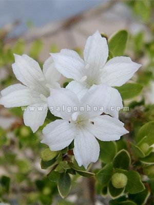 hoa bach tuyet mai trang