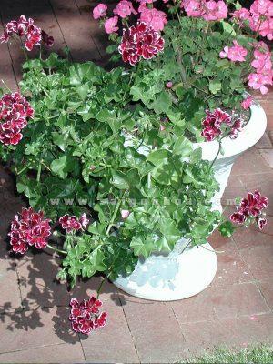 hoa phong lu chau cao