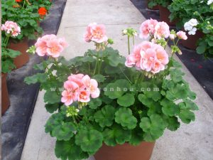 phong lu hoa hong