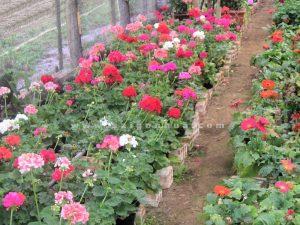 vuon hoa phong lu