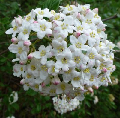 hoa Korean spice viburnum