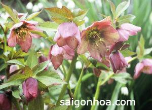hoa hong giang sinh